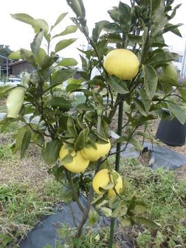 柑橘いろいろ収穫保存8