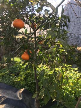 柑橘いろいろ収穫保存13