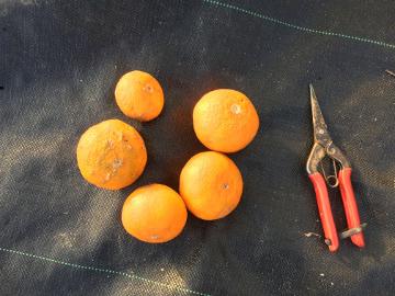 柑橘いろいろ収穫保存14