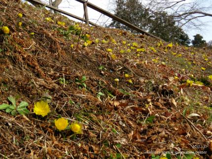 いわき市三和町・福寿草の里 「フクジュソウ」が開花しました! [平成29年1月11日(水)更新]1