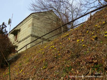 いわき市三和町・福寿草の里 「フクジュソウ」が開花しました! [平成29年1月11日(水)更新]2