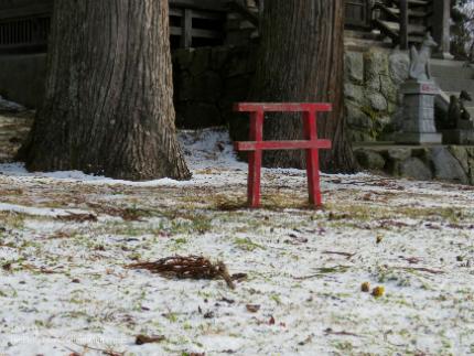 いわき市三和町・福寿草の里 「フクジュソウ」が開花しました! [平成29年1月11日(水)更新]6
