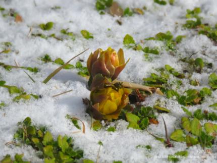 いわき市三和町・福寿草の里 「フクジュソウ」が開花しました! [平成29年1月11日(水)更新]8