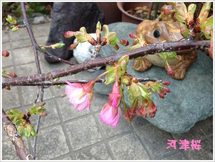 咲いた咲いた さくらが咲いた♪