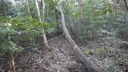 倒木の状況 伐木