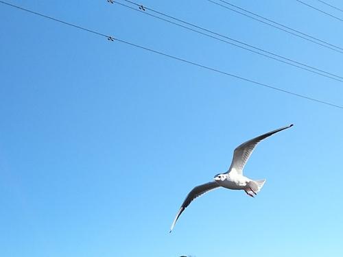飛ぶカモメ