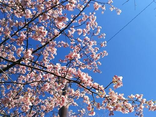 20170206 近所の桜-crop