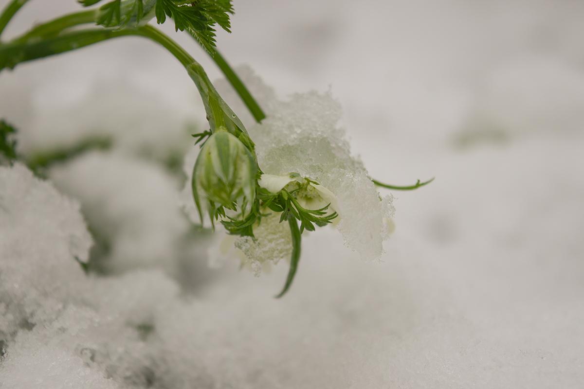 雪の中でさくオルラヤ
