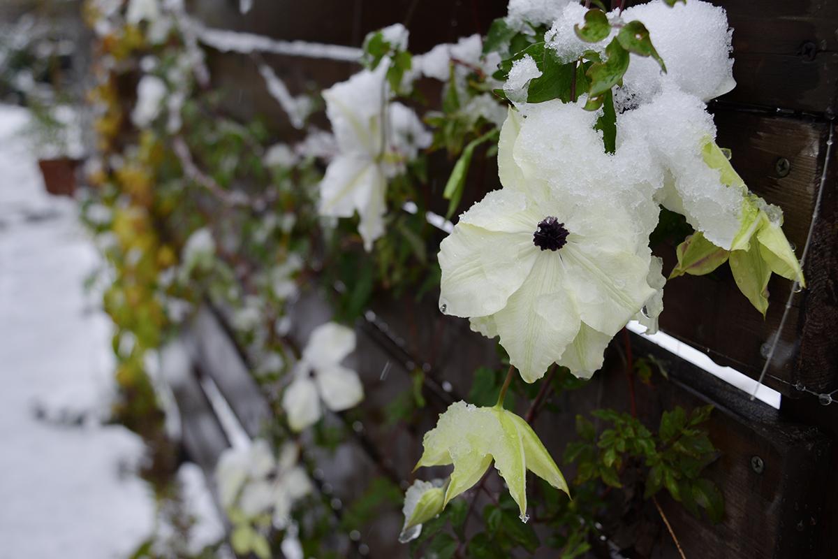 雪の中で咲くクレマチス