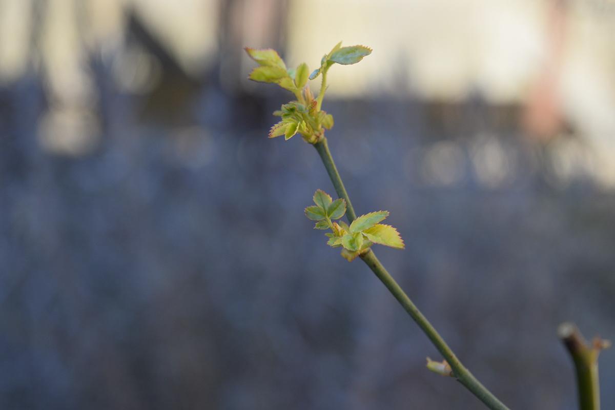 展開を始めるバラの葉