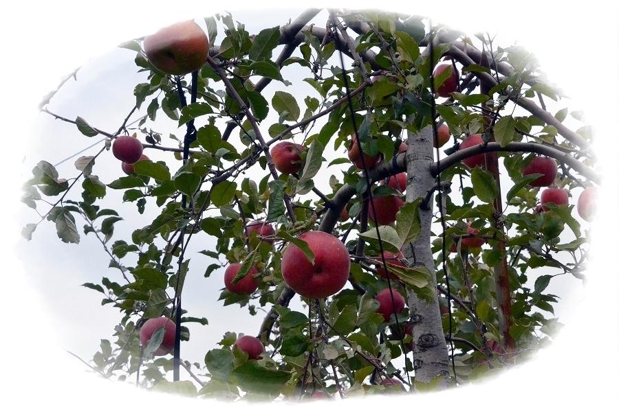 DSC_5769 リンゴ狩りに