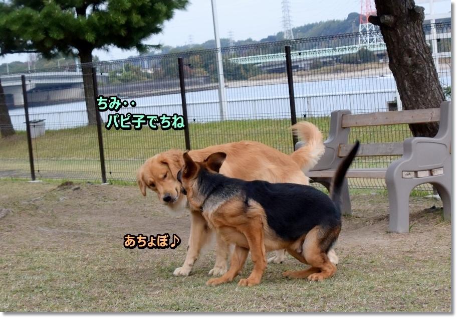 DSC_4285 あちょぼ パピシェパード