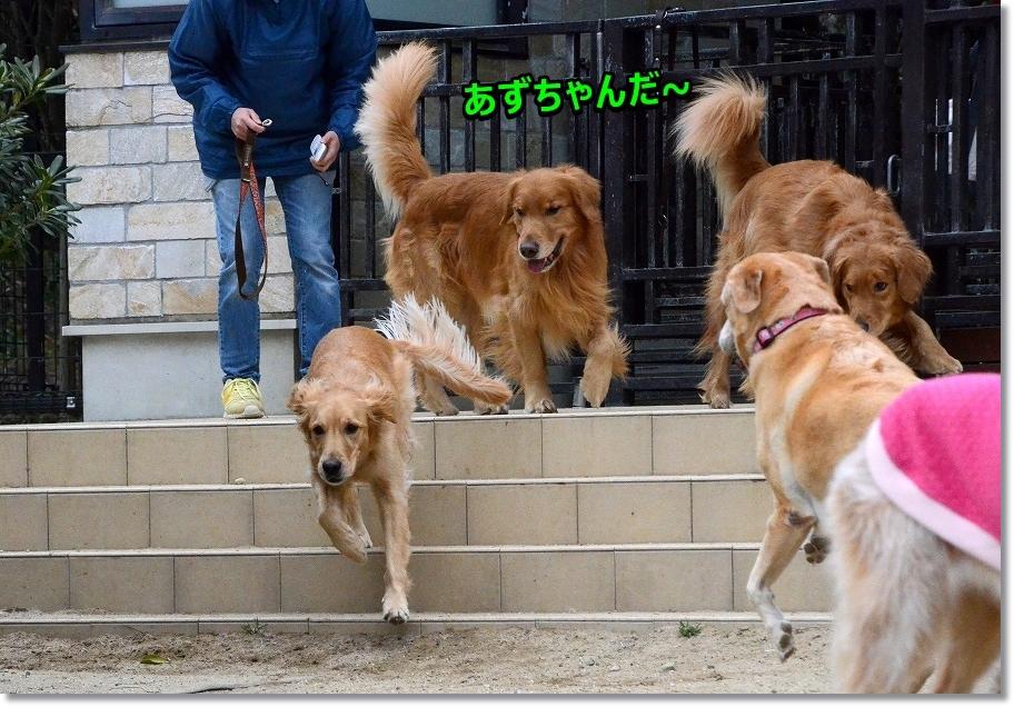 DSC_0365看板犬あずちゃん