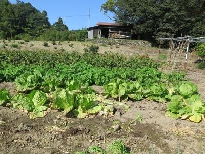白菜と大根の畑