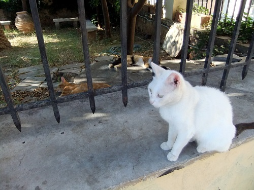 アテネ_アクロポリス北で猫給食 (2)