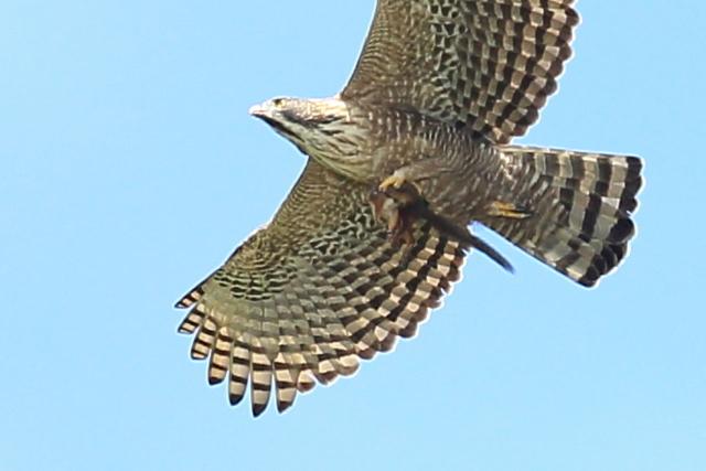 クマタカ成鳥 (2)