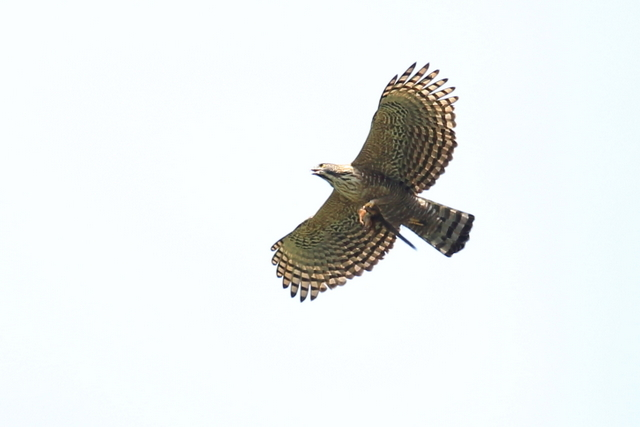 クマタカ成鳥 (3)