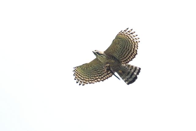 クマタカ成鳥 (4)