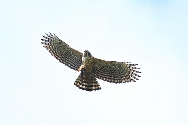 クマタカ成鳥 (5)