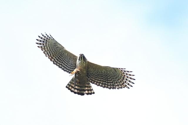 クマタカ成鳥 (6)