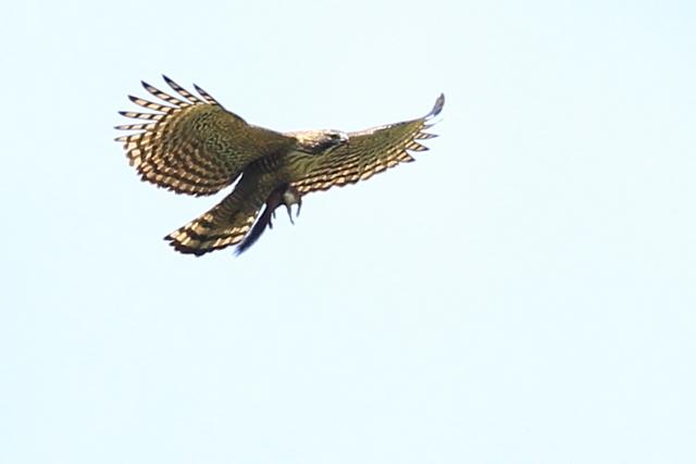 クマタカ成鳥 (11)