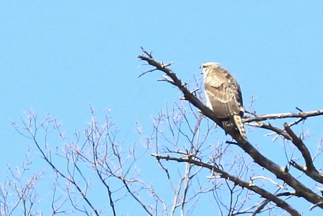 クマタカ幼鳥 (9)