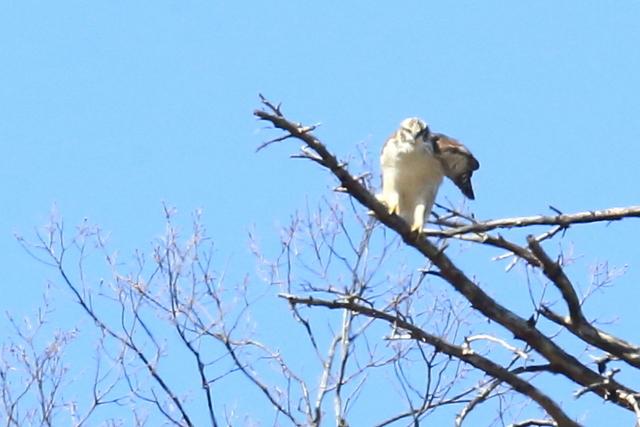 クマタカ幼鳥 (10)