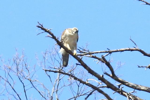 クマタカ幼鳥 (11)