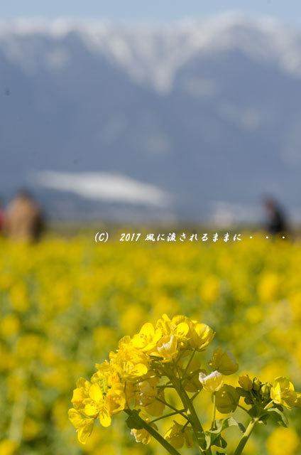 第一なぎさ公園 菜の花(カンザキナバナ)と雪の比良山5