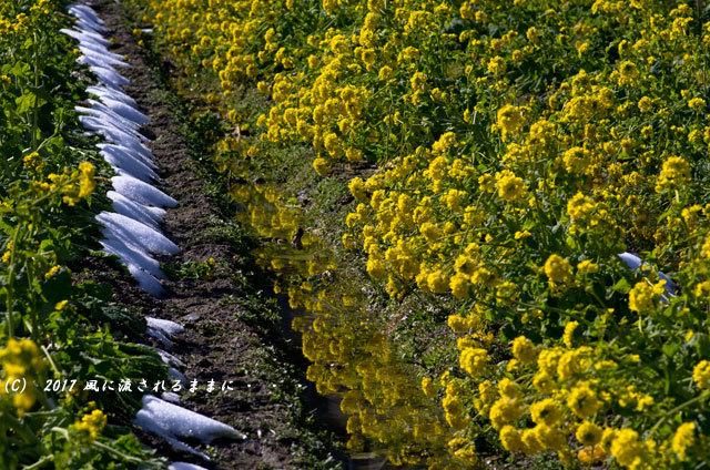 第一なぎさ公園 菜の花(カンザキナバナ)と雪の比良山8