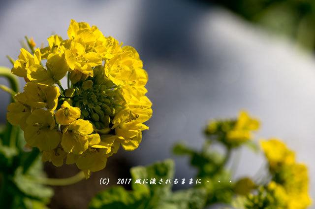 第一なぎさ公園 菜の花(カンザキナバナ)と雪の比良山9