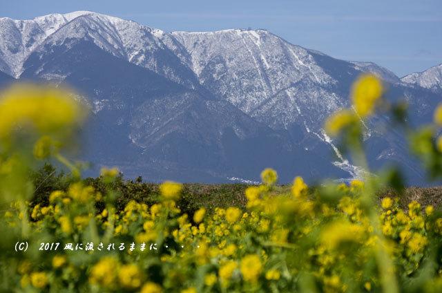 第一なぎさ公園 菜の花(カンザキナバナ)と雪の比良山1