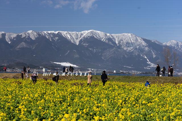 第一なぎさ公園 菜の花(カンザキナバナ)と雪の比良山7