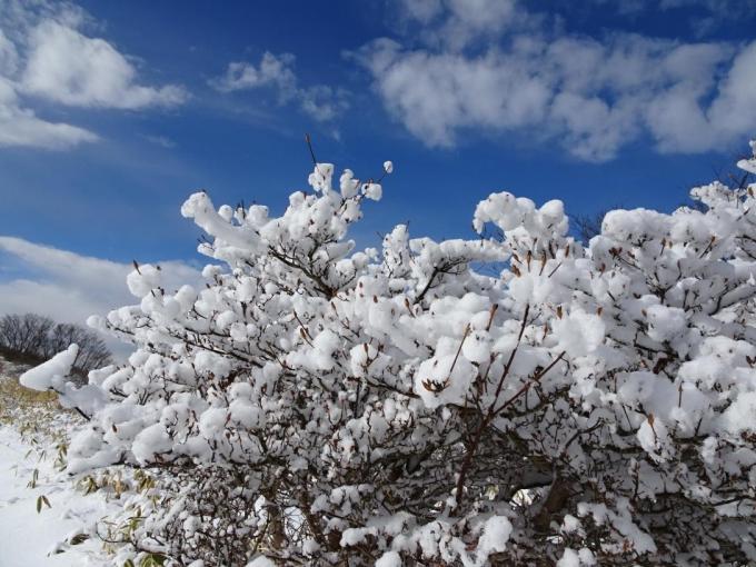 ツツジに雪の花