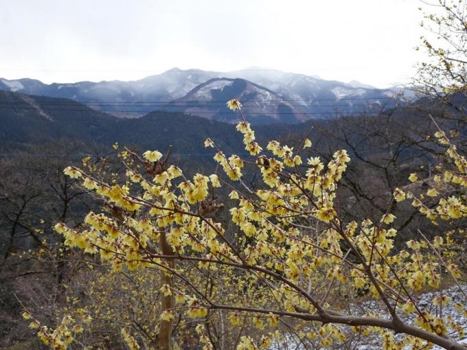 ロウバイと城峯山