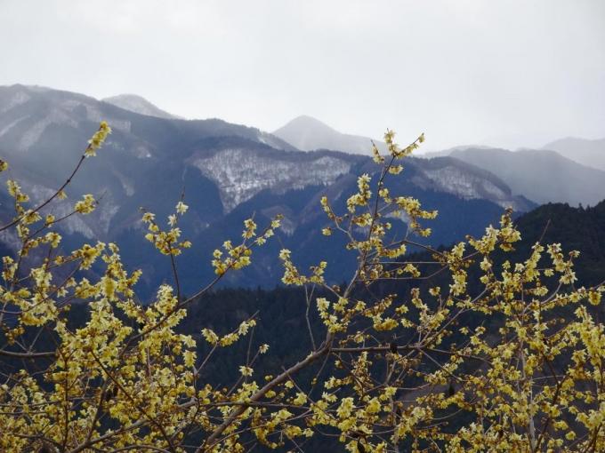 ロウバイと御荷鉾山