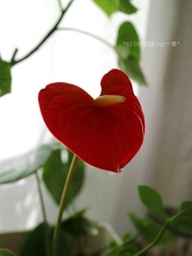 アンスリウム開花