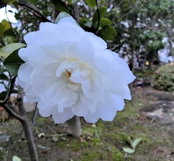 生け垣の山茶花