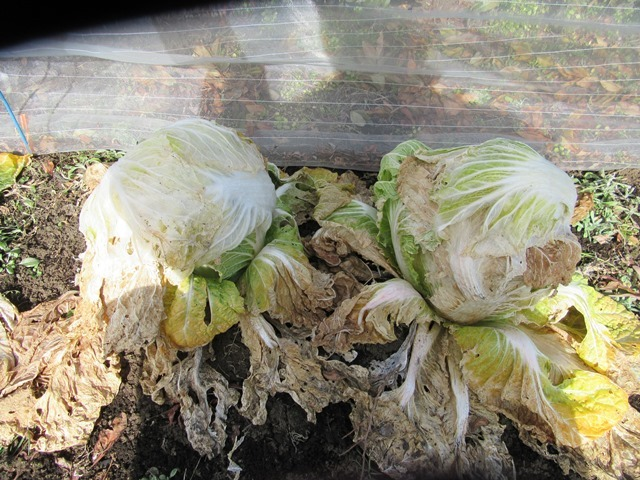 白菜は葉を掛けて防寒