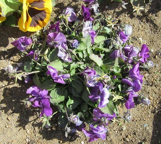 花がら摘みをする前のビオラ