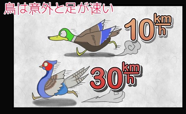 鳥は意外と足が速い