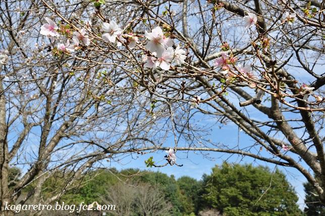 野木の公園で冬桜2