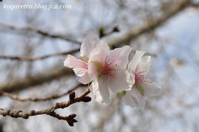野木の公園で冬桜3