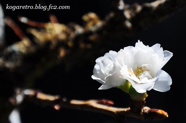 出流山の紅葉と冬桜2