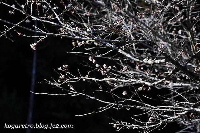 出流山の紅葉と冬桜3