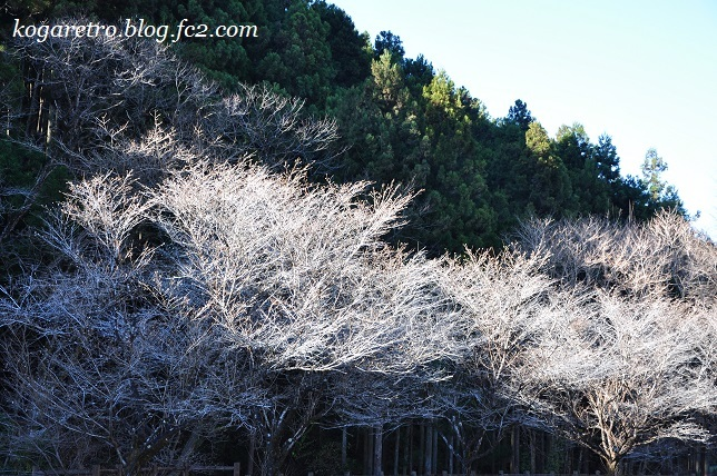 出流山の紅葉と冬桜4