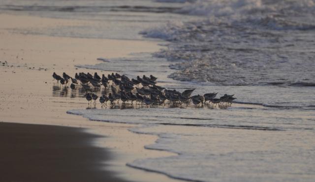 B20161112D_千里浜の鳥_DSC_6358