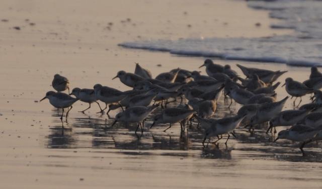 B20161112D_千里浜の鳥_DSC_6357