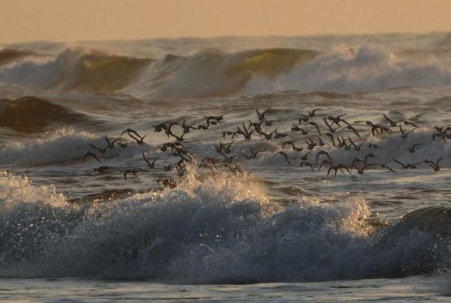 B20161112D_千里浜の鳥_DSC_6366a