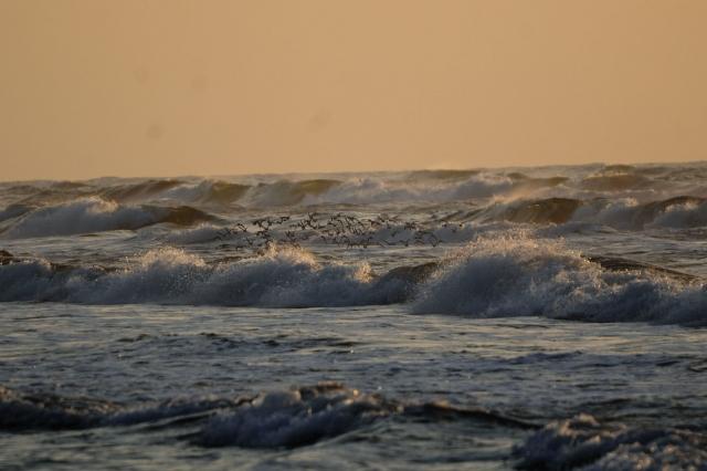 B20161112D_千里浜の鳥_DSC_6366